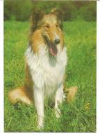 3074g: AK Collie, Gelaufen 1979 Aus 2460 Bruck An Der Leitha Nach 2471 Rohrau - Hunde