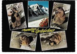 3074z: AK 9844 Heiligenblut Am Großglockner, Murmeltiere Auf Der Franz- Josefs- Höhe, Gelaufen 1966 - Tierwelt & Fauna