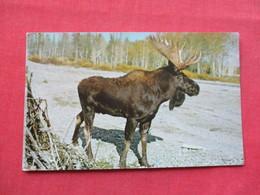 Blue Moose       Largest Member Of Deer Family      Ref 3382 - Animals