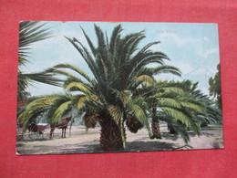 Date Palms         Ref 3382 - Trees