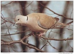 Tiere / Animals: Türkentaube (D-A177) - Vögel