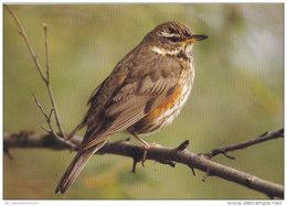 Tiere / Animals: Rotdrossel (D-A177) - Vögel