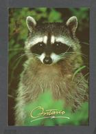 ANIMAUX - ANIMALS - RACCOON - RATON LAVEUR - A HIGHLY INTELLIGENT MAMMAL NOCTURNAL 17 X 12 Cm - 6¾ X 4¾ Po - PHOTO S.DEE - Autres
