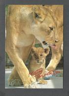 ANIMAUX - ANIMALS - METRO TORONTO ZOO - AFRICAN LION - 17 X 12 Cm - 6¾ X 4¾ Po - PHOTO BENJAMIN RONDEL - Lions