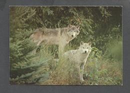 ANIMAUX - ANIMALS - 2  LOUPS DANS LA NATURE - WOLF - 17 X 12 Cm - 6¾ X 4¾ Po - PHOTO F.KLUS MLCP - Autres