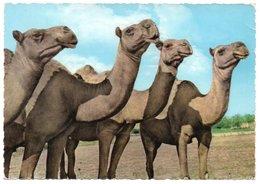 LIBAN/LEBANON - CHAMEAUX / CAMELS (GULBENK TRADING CO.) / CIRCULATED FROM SAUDI ARABIA / DHAHRAN AIRPORT CANCEL - 1963 - Libano