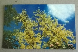 JAMAICA NATURALE - SHOWER OF GOLD TREE    (412) - Alberi