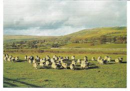 3053l: AK Schafe In Yorkshire Dales, Wensleydale, UK- Ungelaufen Ca. 1980 - Andere