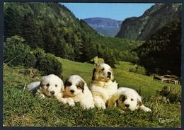 Chiens Des Pyrénées - Hunde