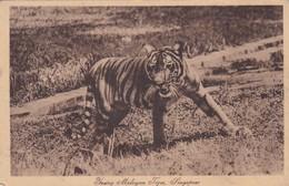 YOUNG MALAYAN TIGER. SINGAPORE. CPA CIRCA 1910s - BLEUP - Malaysia