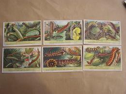 LIEBIG Les Chenilles Insectes Bombyx Phalène Bucéphale Série De 6 Chromos Trading Cards Chromo - Liebig