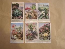 LIEBIG Plantes Grasses Agave Aloe Crassula Botanique Plante Série De 6 Chromos Trading Cards Chromo - Liebig