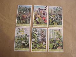 LIEBIG Plantes Grimpantes Lierre Clématite Houblon Vigne Botanique Plante Série De 6 Chromos Trading Cards Chromo - Liebig