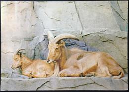 Animales Cabra - Cebras