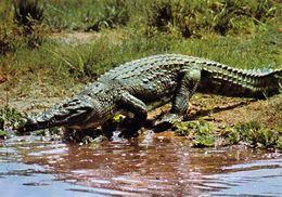 1 AK Tschad * Ein Krokodil Im Tschad * Crocodile Tchad * IRIS Karte 6847 * - Tschad