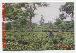 BANGLADESH  - AK 350764 The Garden In Sylhet - Bangladesch