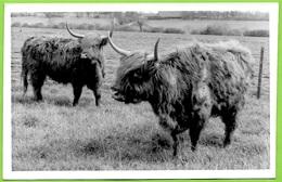 CPA CPSM Post Card - Highland Cattle - Mole Hall, WIDDINGTON (SAFFRON WALDEN) Essex UK * Vache Race Bovine - England