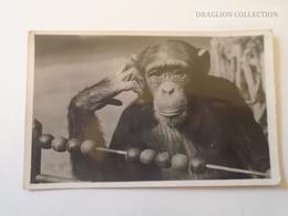 D163970  Hungary ZOO Budapest Chimpanzee With Abacus Real Photo Carte Photo FOTO-AK Hölzel Gyula Photo 1930-40's - Hungría