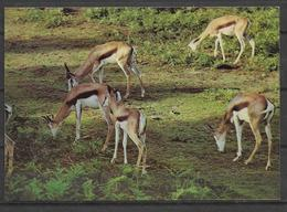 ANIMALS POSTCARD DEER , GHAZAL - Animals