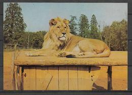 ANIMALS POSTCARD LIONS - Lions