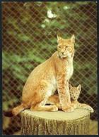C5916 - TOP Dresden Zoologischer Garten Tierpark Zoo - Luchs Nordluchs - Gatti