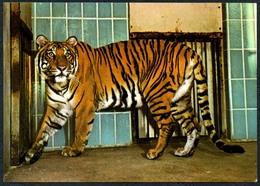 C5925 - Dresden Zoo Tierpark Zoologischer Garten - Tiger Bengaltiger - Tigers