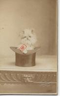 Photo Ancienne 1902 Petit Chat ébouriffé Dans Chapeau Signature Et Date à Droite - Photos