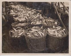 SYDNEY AUSTRALIA TRAWLING COMPANY FLATHEAD  FISHING PESCA 21*16CM Fonds Victor FORBIN 1864-1947 - Profesiones