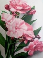 Cpa , FLEURS DE LAURIER ROSE . 1930 .  FLOWERS OLEANDER OLD PC - Giftige Pflanzen