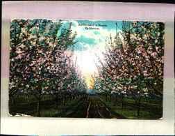 4893) Cartolina Della California -an Orchard In Bloom-viaggiata 1921 - Stati Uniti