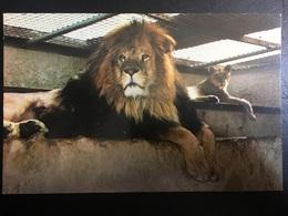 Leon - Lions
