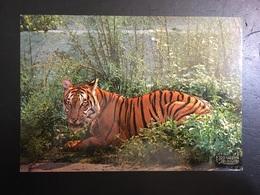 Tigre - Tigres