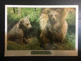 Osos - Bears