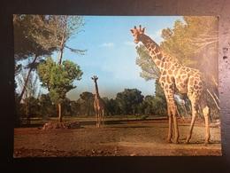 Jirafas - Giraffes