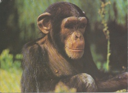 Postcard RA010374 - Ape Monkey Chimpanzee ZOO Osijek Croatia - Monkeys