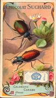1 Chromo Suchard - Insecte - Calosome Carabe  - Bill-879 - R/V - Suchard