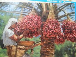 Bahrain Date Palm - Bahrain