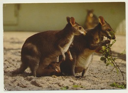 AK  Zoo Tierpark Frankfurt Neuguinea Filande Känguruh - Animaux & Faune