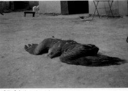 L - PHOTO ORIGINALE FORMAT 8.5 X 5.8 - GRAND OISEAU MORT - Photos