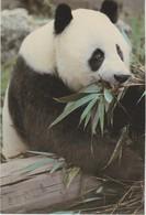 AKGB United Kingdom / Royaume Unie London - Zoological Society - Giant Panda - Londen