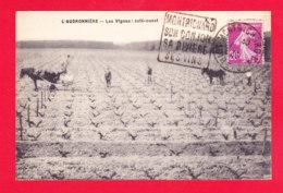 F-41-Montrichard-03A74  L'Audronnière, Les Vignes, Côté Ouest, Cpa BE - Montrichard