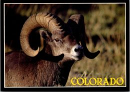 Colorado State Animal Bighorn Sheep - Other
