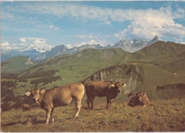 Stoos Mit Klingenstock, Rossberg, Wasserberg, Kuhherde - SZ Schwyz