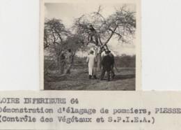 Photographie - Plesse 44 - Agriculture Agronomie Arboriculture - Exploitation Elagage Pommiers - Fotografía