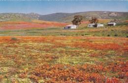 AN17 Namaqualand Daisies Near Garies - South Africa