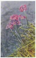 AK Mehl-Primel - Blumen - Aufnahme F. Kustermann  (41719) - Blumen