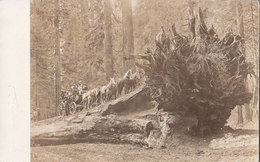 RPPC REAL PHOTO POSTCARD HORSE AND BUGGY UP A HUGE TREE STUMP - Other