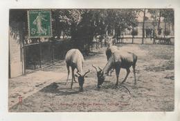 PARIS - Jardins Des Plantes - Antilopes Bubates - Animales