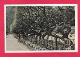 Modern Post Card Of The Box Pine,Ritsurin Park,Takamatsu,Ritsurin Koen, Japan,L59. - Japan