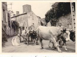 PHOTO ORIGINALE 11.5/8CMS.ILE DE RE .GROS PLAN BOEUFS.07/1959 .T.BELLE. T.B.ETAT.PETIT PRIX. - Places